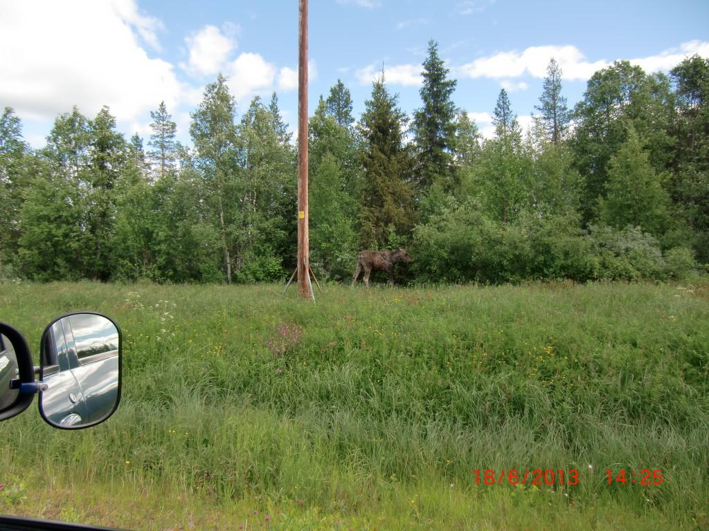 Elche gibt es in Schweden wirklich in rauen Mengen. Aber obwohl diese Tiere ja  wirklich etwas größer sind, bekommt man sie nur sehr selten zu Gesicht.
